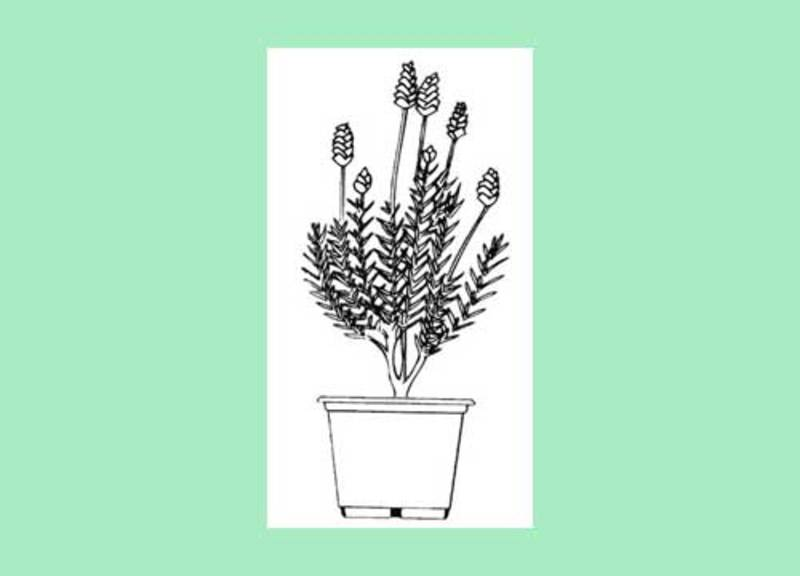 colouring page,garden,poster  - Bunnings Lavender Poster Printable to Colour
