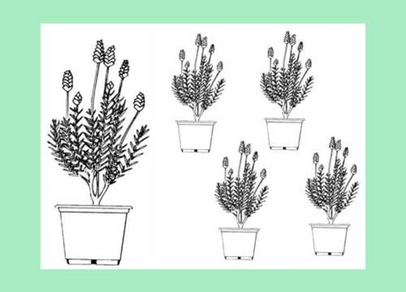 colouring page,garden,seedlings  - Bunnings Lavender Printable to Colour